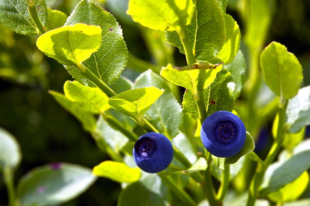 Blueberry, Vaccinium myrtillus, Trentino Alto Adige, Italy, Europe
