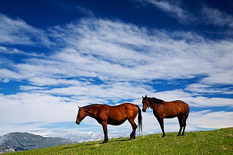 Horse in pasture, Revoltel alp, Lessini mountain, Trentino Alto Adige, Italy, Europe