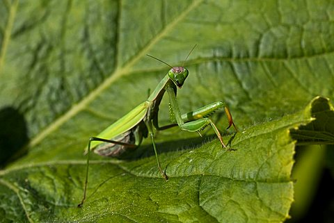 Praying Mantis, Mantis religiosa Linnaeus