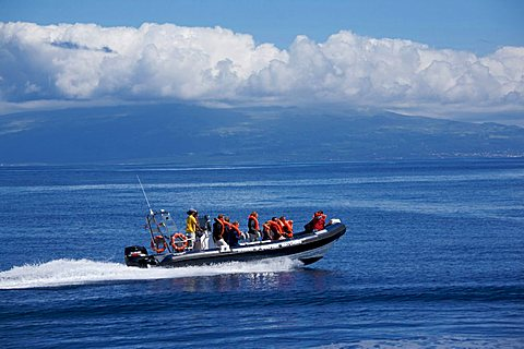 Dolphin watching in Atlantic ocean, Fajal, Azores Island, Portugal, Europe