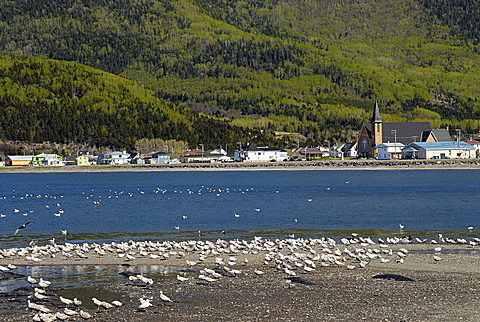 Colony of gulls, Gaspesie, Gaspe peninsula, Quebec, Canada, North America