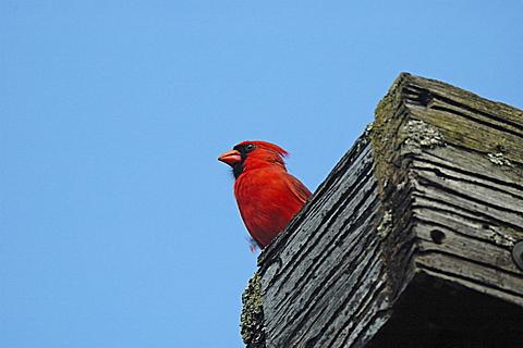 Northern Cardinal, Cardinalis cardinalis, Oka National Park, Quebec, Canada