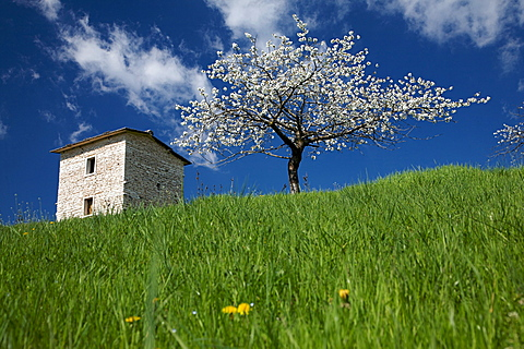 flowering cherry tree n Lessinia plateau, Lessini mountain, Veneto, Italy, Europe,