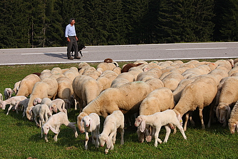 shepherd with his flock of sheep at Viote of Bondone mountain, Trentino, Italy, Europe