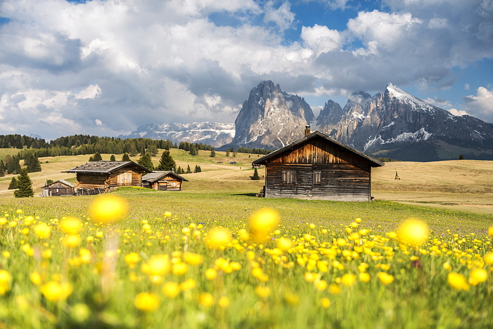 Alpe di Siusi/Seiser Alm, Dolomites, Alto Adige, Italy, Europe. Spring on the Alpe di Siusi with the peaks of Sassolungo/Langkofel and Sassopiatto / Plattkofel