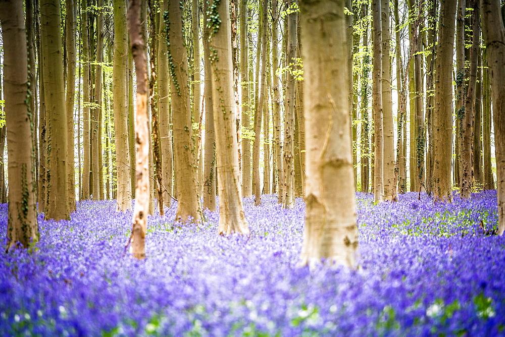 Beech forest, Hallerbos, Halle, Vlaams Gewest, Brussels, Belgium, Europe