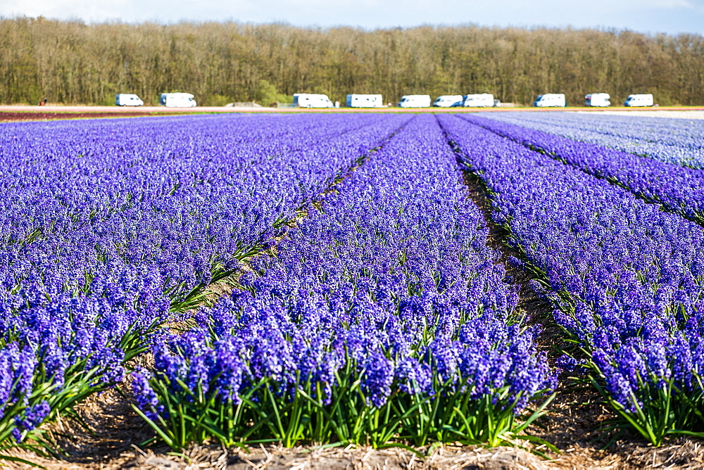 Tulips in Lisse, Netherlands, Europe