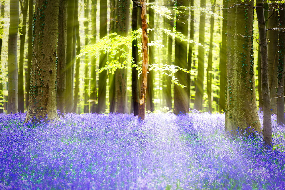 Beech forest full of blue bells flowers, Hallerbos, Halle, Vlaams Gewest, Brussels, Belgium, Europe - 746-87890