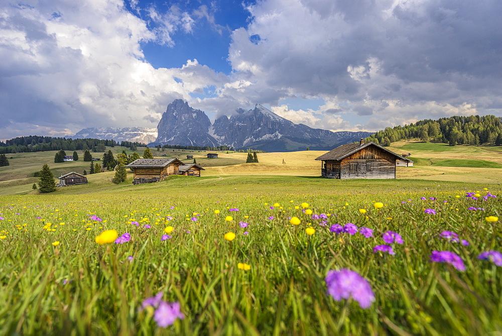 Alpe di Siusi/Seiser Alm, Dolomites, Alto Adige, Italy, Europe. Spring colors on the Alpe di Siusi/Seiser Alm with the Sassolungo/Langkofel and the Sassopiatto/Plattkofel in background