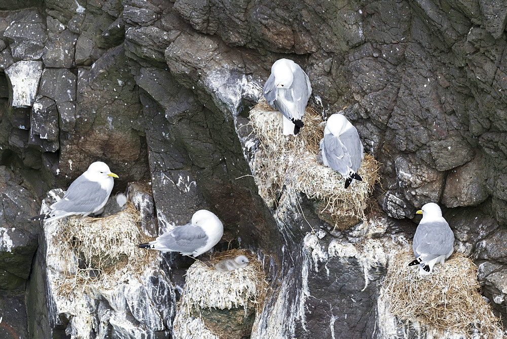 Black-legged kittiwake (Rissa tridactyla), colony in the cliffs of the island Mykines, part of the Faroe Islands in the North Atlantic. Europe, Northern Europe, Denmark, Faroe Islands
