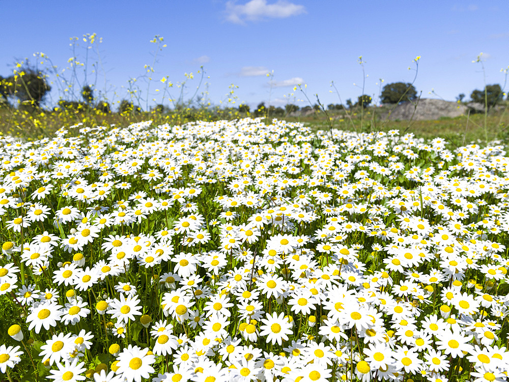 Scentless false mayweed (scentless mayweed, scentless chamomile, wild chamomile, mayweed, false chamomile, Baldr's brow , Tripleurospermum maritimum), meadow near Marvao.  Europe, Southern Europe, Portugal, Alentejo