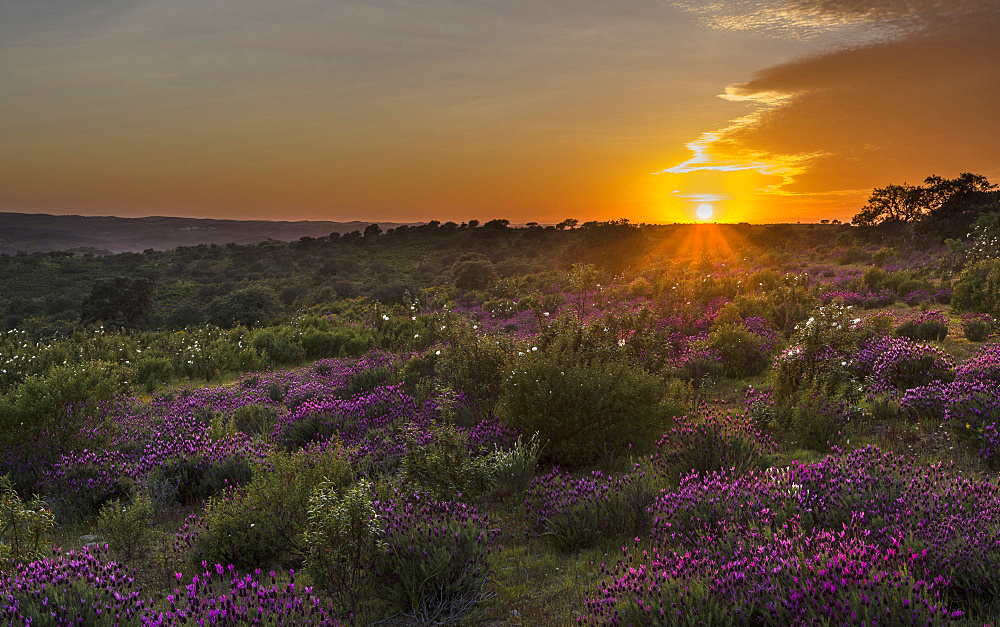 Landscape with Spanish lavender  (Lavandula stoechas, French lavender, topped lavender) near Mertola in the nature reserve Parque Natural do Vale do Guadiana in the  Alentejo   Europe, Southern Europe, Portugal, Alentejo
