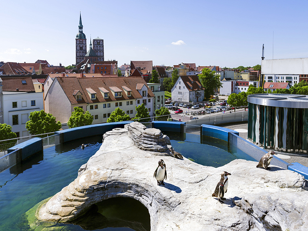 Ozeaneum, a museum dedicated to oceans, a new architectural icon and landmark of Stralsund, Humboldt Penguins on the roof of the museum. The Hanseatic City Stralsund. The old town is listed as UNESCO World Heritage. Europe, Germany, West-Pomerania, June