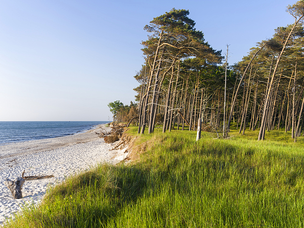 Coastal forest at the Weststrand  (western beach) on the Darss Peninsula. Western Pomerania Lagoon Area NP. Europe, Germany, West-Pomerania, June - 746-88173