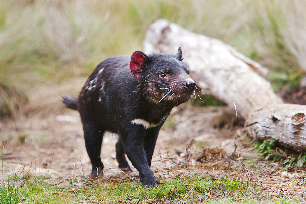 Tasmanian Devil (Sarcophilus harrisii) feeding on carrion (roadkill used as bait) during the night.  The Tasmanian Devil is the largest of the Dasyuridae, strictly protected and endangered. They are primarily nocturnal and opportunists feeding mostly on carrion,  Australia, Tasmania