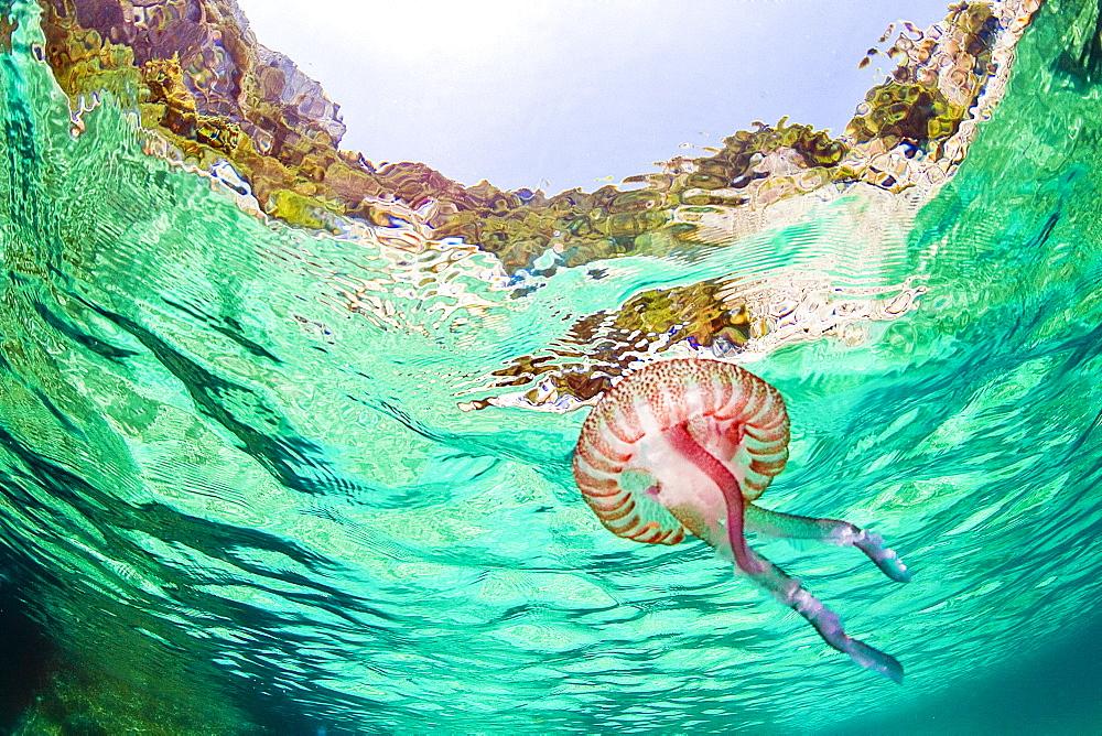 Jellyfish, Capri island, Campania, Italy, Europe - 746-88510