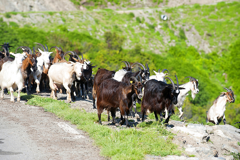Goats on the Road D71, Saint Andrea di Cotone and Felce zone, Corsica, France, Europe