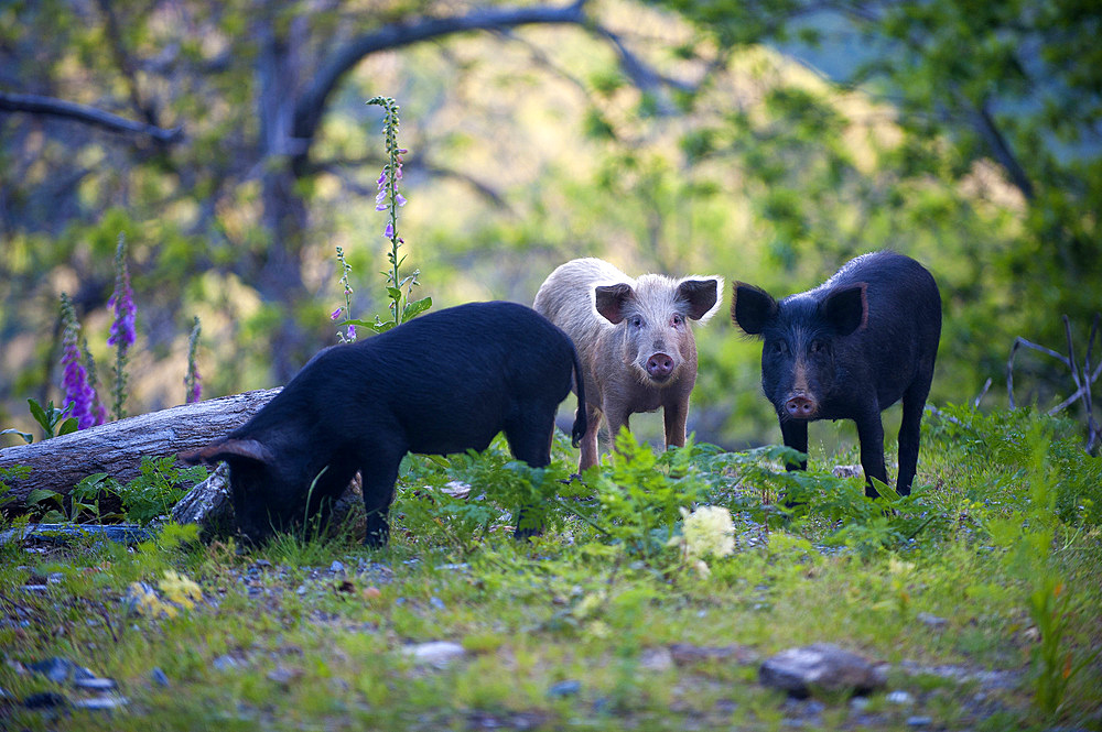 Wild domestic pigs on the Road D71, Saint Andrea di Cotone and Felce zone, Corsica, France, Europe