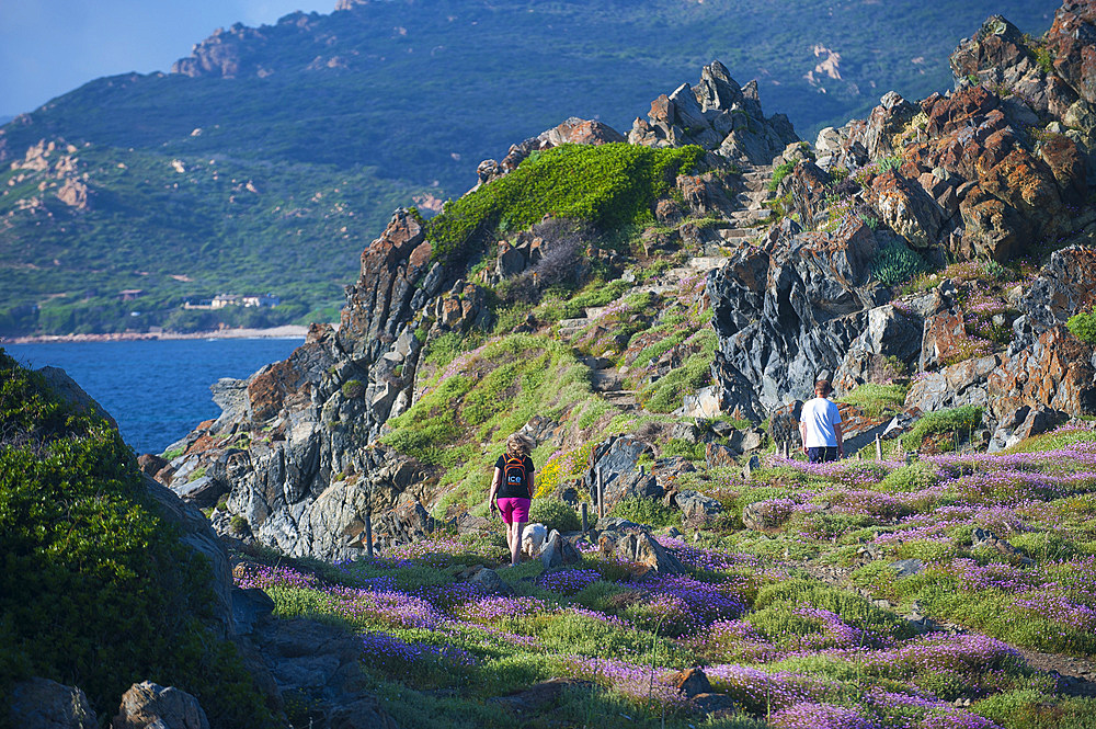 Flowers of Frankénie Hirsuta, Archipelago of Sanguinary Islands, Ajaccio, Corsica, France, Europe