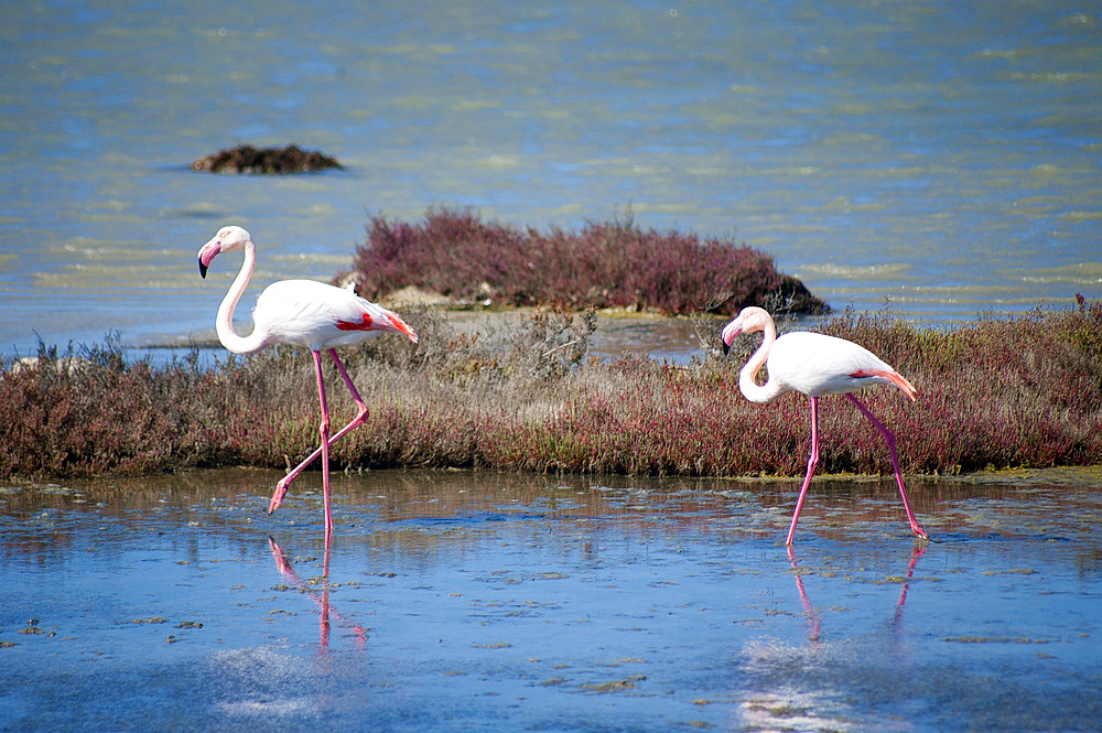 Flamingos, Is Solinas Beach, Masainas, Sardinia, Italy, Europe