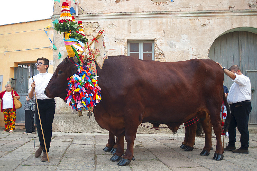 Procession of Santa Maria de is Aquas, Sardara, Sardinia, Italy, EuropeSardinia; Sardinian; Traditions; Typical; Sardara; Feast; Religious; Catholic; Church; Ales; Terralba; Dress; Vest; Shawl; Folk; Folclore; Wrap; Oxen; Procession; Horizontal; Vertical