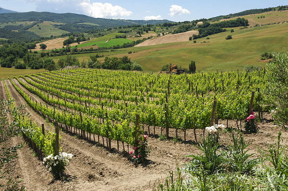 Vineyard with roses, traditionally planted to give early warning of vine disease, Val d'Orcia, Tuscany, Italy, Europe