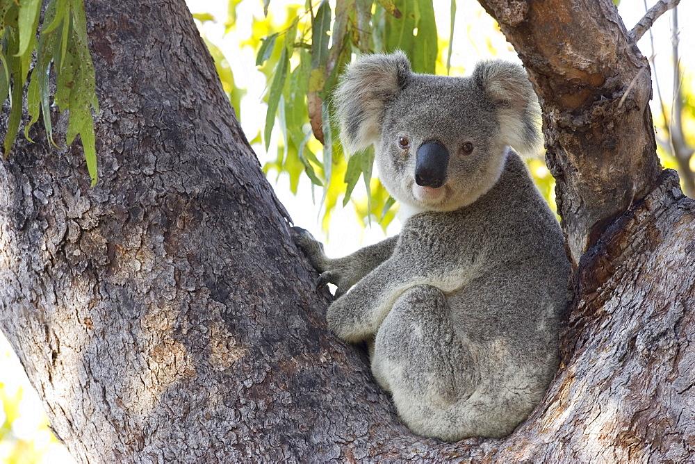 Koala (Phascolartos cinereus), Magnetic Island, Queensland, Australia