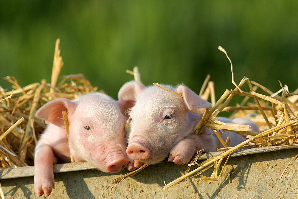 Domestic Pig, (Sus scrofa domesticus), Bynde, Nordrhein Westfalen, Germany