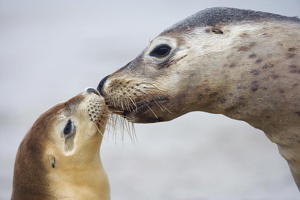 Australian sea lion (Neophoca cinerea), Seal Bay, Kangaroo Island, South Australia, Australia, Pacific - 748-1117