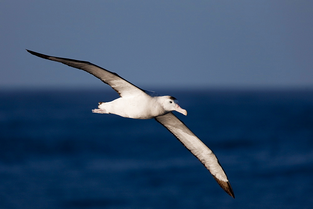 Wandering albatross (Diomedea exulans), Southern Ocean, Antarctic, Polar Regions - 748-1261