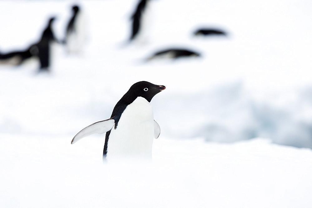 Adelie penguin (Pygoscelis adeliae), Commonwealth Bay, Antarctica, Polar Regions - 748-1272