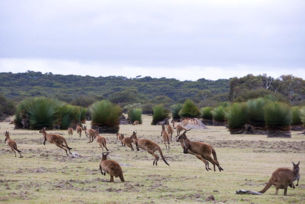 Kangaroo Island grey kangaroos (Macropus fuliginosus), Kelly Hill Conservation, Kangaroo Island, South Australia, Australia, Pacific - 748-1328