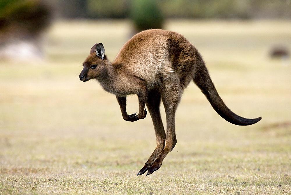 Kangaroo Island grey kangaroo (Macropus fuliginosus), Kelly Hill Conservation, Kangaroo Island, South Australia, Australia, Pacific - 748-1333