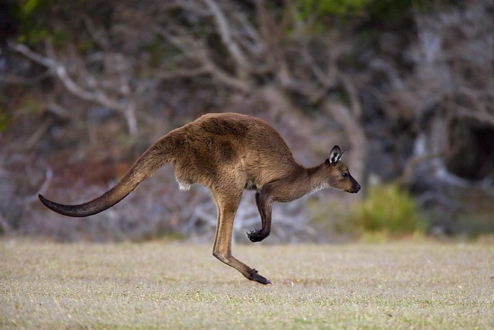 Kangaroo Island grey kangaroo (Macropus fuliginosus), Kelly Hill Conservation, Kangaroo Island, South Australia, Australia, Pacific - 748-1335