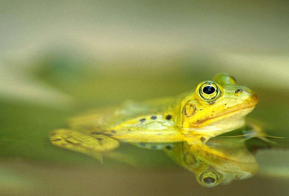 European Edible Frog, Rana esculenta, Bielefeld, NRW, Germany - 748-181