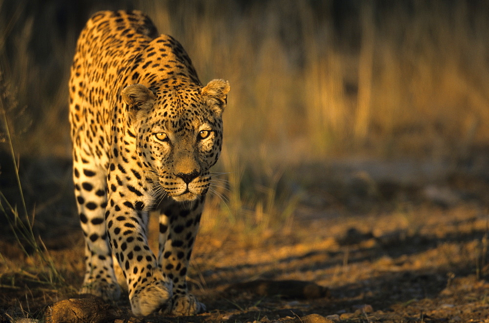 Leopard, (Panthera pardus), Duesternbrook Private Game Reserve, Windhoek, Namibia
