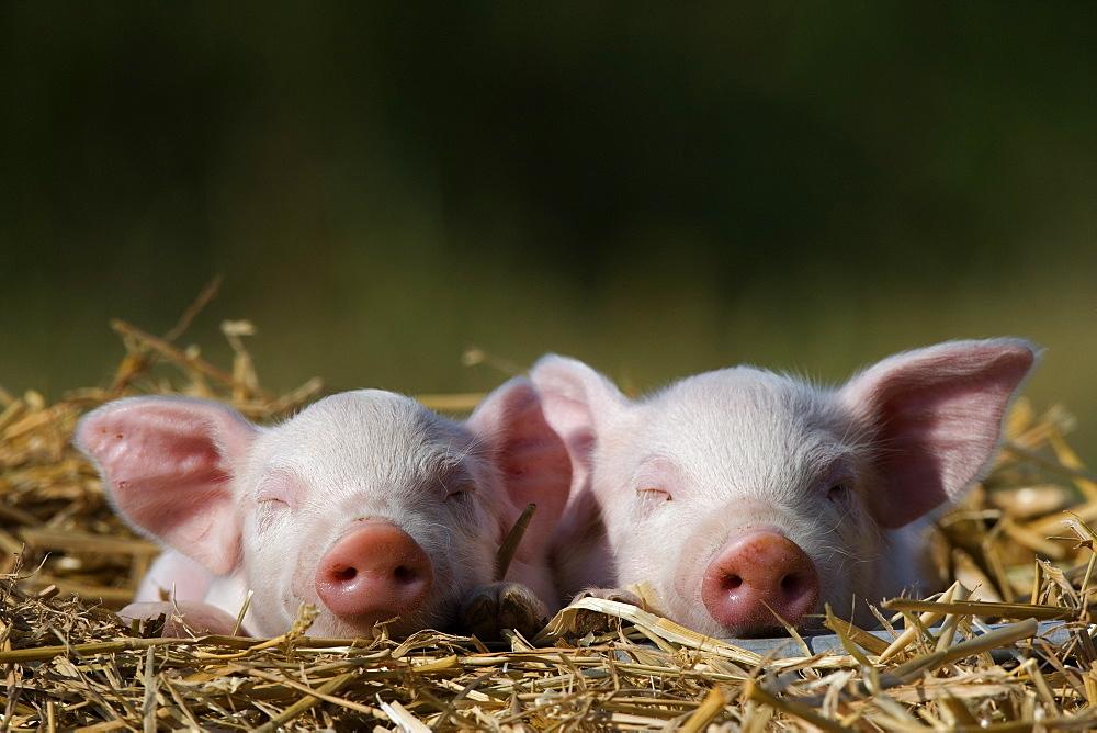 Domestic Pig, Huellhorst, Germany