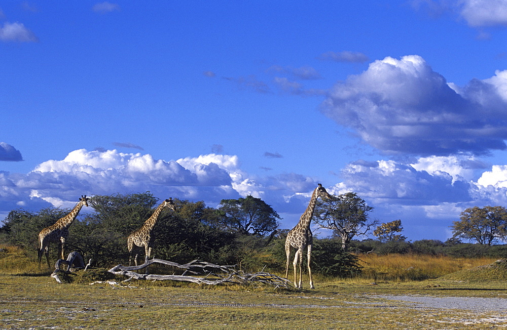 Giraffe, Giraffa camelopardalis, Moremi Wildlife Reserve, Botswana, Africa