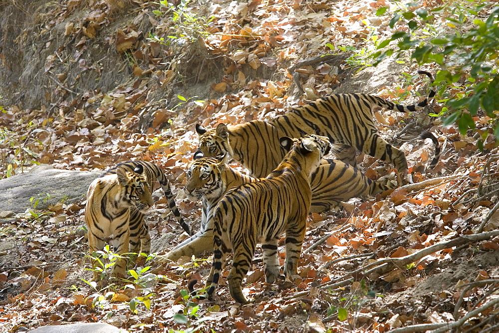 Bengal tigers, Panthera tigris tigris, Bandhavgarh National Park, Madhya Pradesh, India, Asia - 748-489