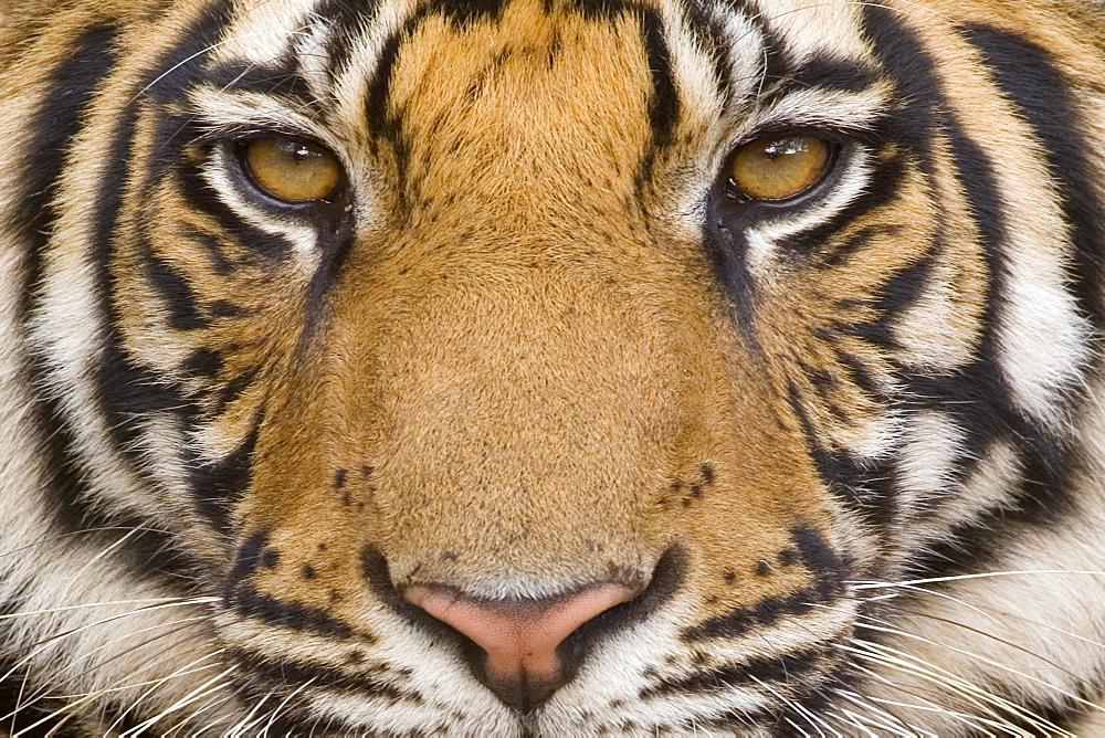 Bengal tiger, (Panthera tigris tigris), Bandhavgarh, Madhya Pradesh, India - 748-54