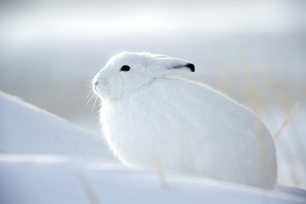 Snow hare (Lepus americanus), Churchill, Manitoba, Canada, North America