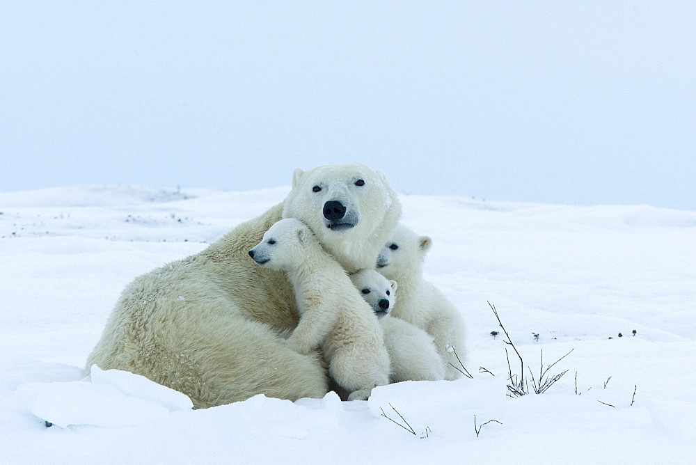 Polar bear (Ursus maritimus) mother with triplets, Wapusk National Park, Churchill, Hudson Bay, Manitoba, Canada, North America - 748-583
