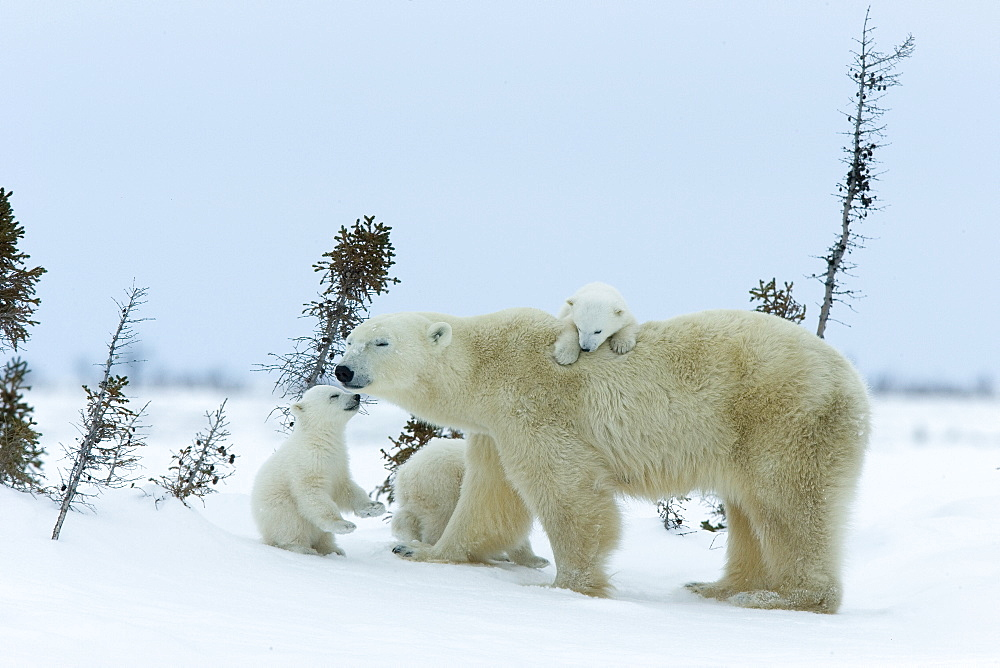 Polar bear (Ursus maritimus) mother with triplets, Wapusk National Park, Churchill, Hudson Bay, Manitoba, Canada, North America - 748-588