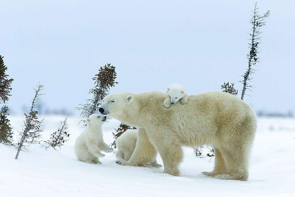 Polar bear (Ursus maritimus) mother with triplets, Wapusk National Park, Churchill, Hudson Bay, Manitoba, Canada, North America - 748-588