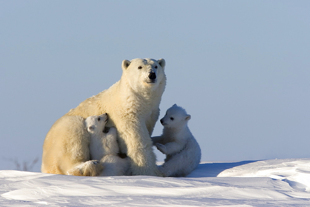 Polar Bear with cubs, (Ursus maritimus), Churchill, Manitoba, Canada - 748-60