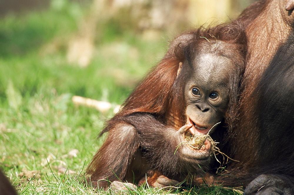 Young orang-utan (Pongo pygmaeus), in captivity, Apenheul Zoo, Netherlands (Holland), Europe