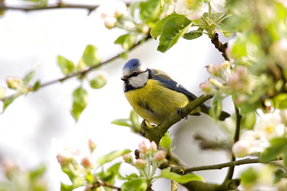 Blue Tit, (Parus caeruleus), Bielefeld, Nordrhein Westfalen, Germany - 748-80