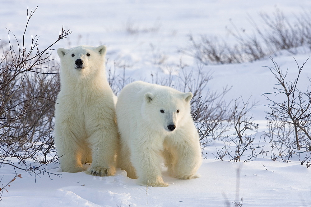 Polar bear cubs (Ursus maritimus), Churchill, Hudson Bay, Manitoba, Canada, North America - 748-812