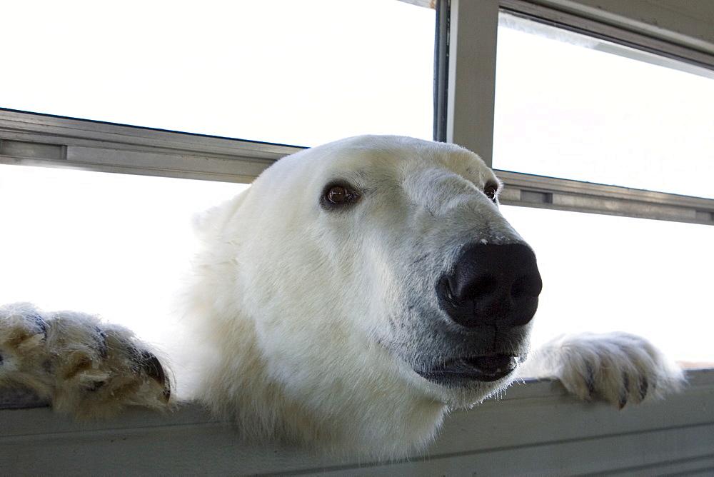 Polar bear (Ursus maritimus), Churchill, Hudson Bay, Manitoba, Canada - 748-816