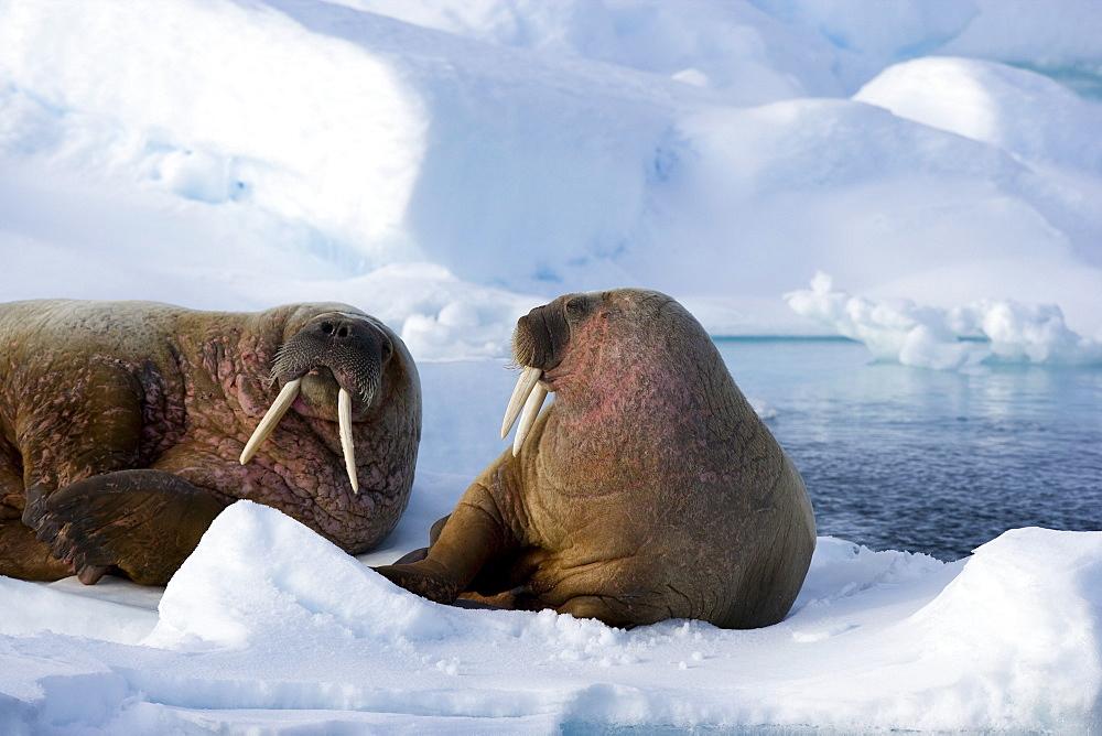 Walrus (Odobenus rosmarus) on pack ice, Spitzbergen, Svalbard, Norway, Scandinavia, Europe - 748-856